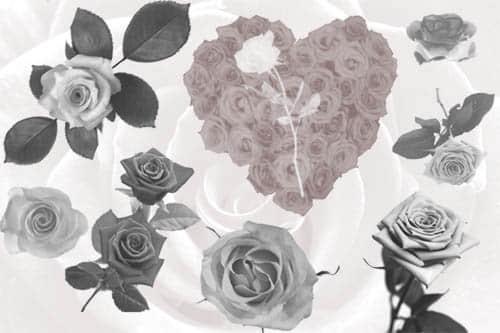 真实的玫瑰花花朵Photoshop笔刷素材 鲜花笔刷 花朵笔刷 玫瑰花笔刷  plants brushes
