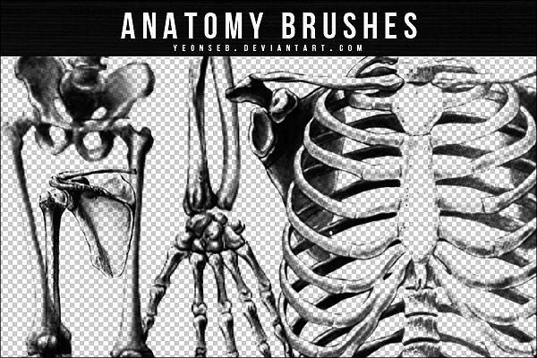 人体骷髅骨头、肋骨、胸骨PS笔刷下载 骷髅笔刷 骨骼笔刷  characters brushes