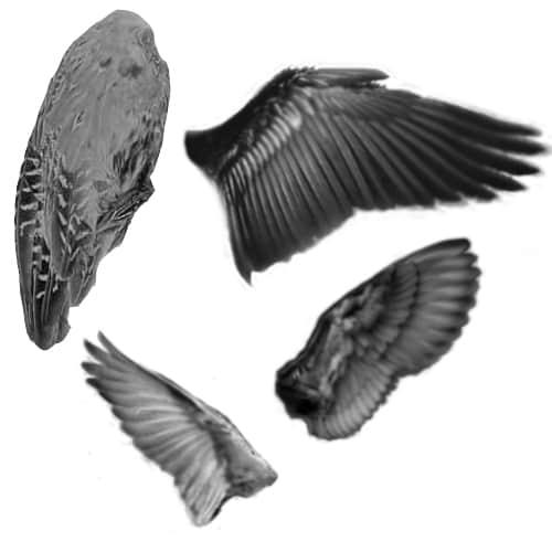 真实的羽毛翅膀PS笔刷下载 鸟类翅膀笔刷 羽毛翅膀笔刷 真实翅膀笔刷  wings brushes