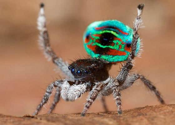 7张漂亮的孔雀蜘蛛微距摄影欣赏