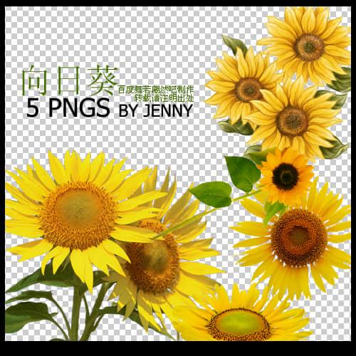 真实的向日葵花朵图片PS素材下载 植物花朵笔刷 向日葵笔刷  plants brushes