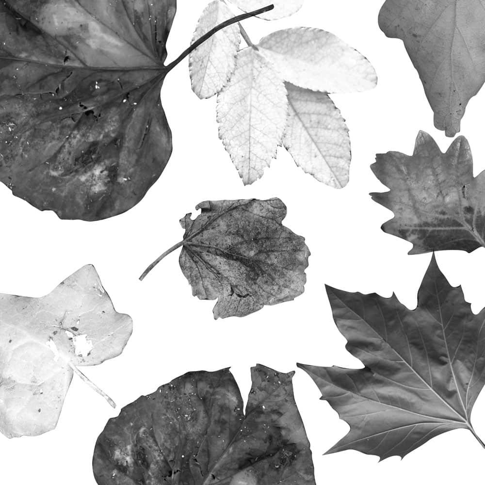免费高清真实树叶、落叶、枯叶Photoshop笔刷素材