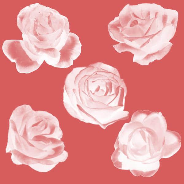 娇艳的玫瑰花朵、鲜花花朵Photoshop笔刷素材