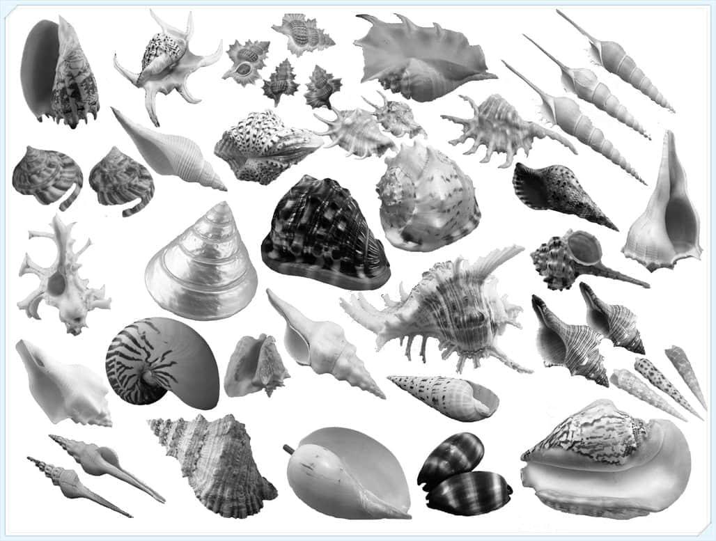 真实的海螺、贝壳图形Photoshop笔刷素材 #.3