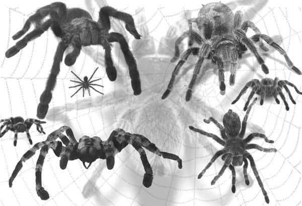 真实蜘蛛PS笔刷 蜘蛛笔刷  insects brushes