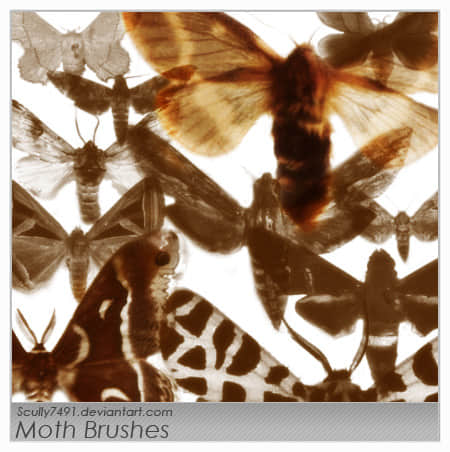 飞蛾昆虫PS笔刷素材 蛾笔刷  insects brushes