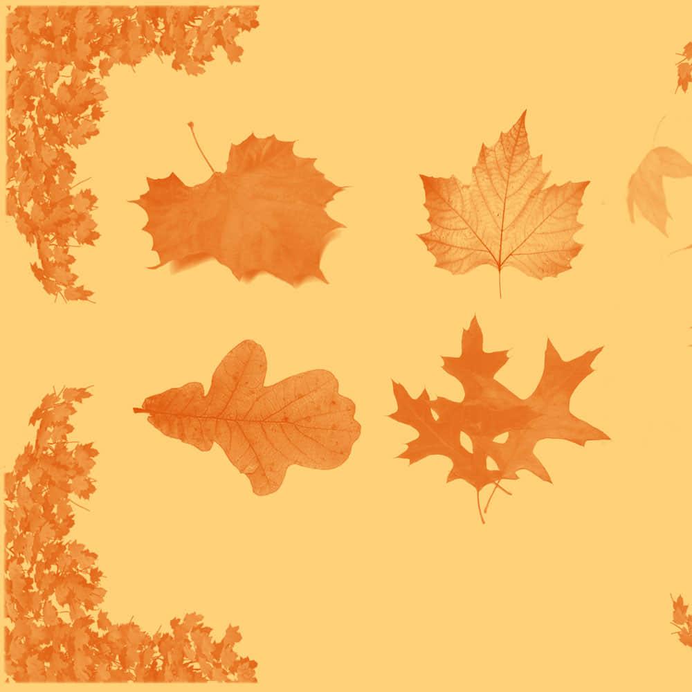 秋天落叶、梧桐叶、枫叶Photoshop枯叶笔刷下载