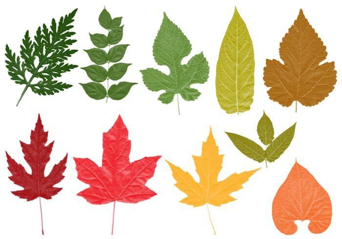 树叶、枫叶、梧桐叶、绿叶Photoshop笔刷素材下载