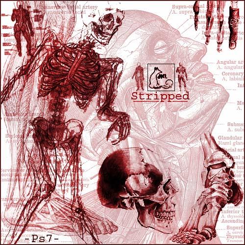 人体解剖图、人体骨骼组织PS笔刷下载