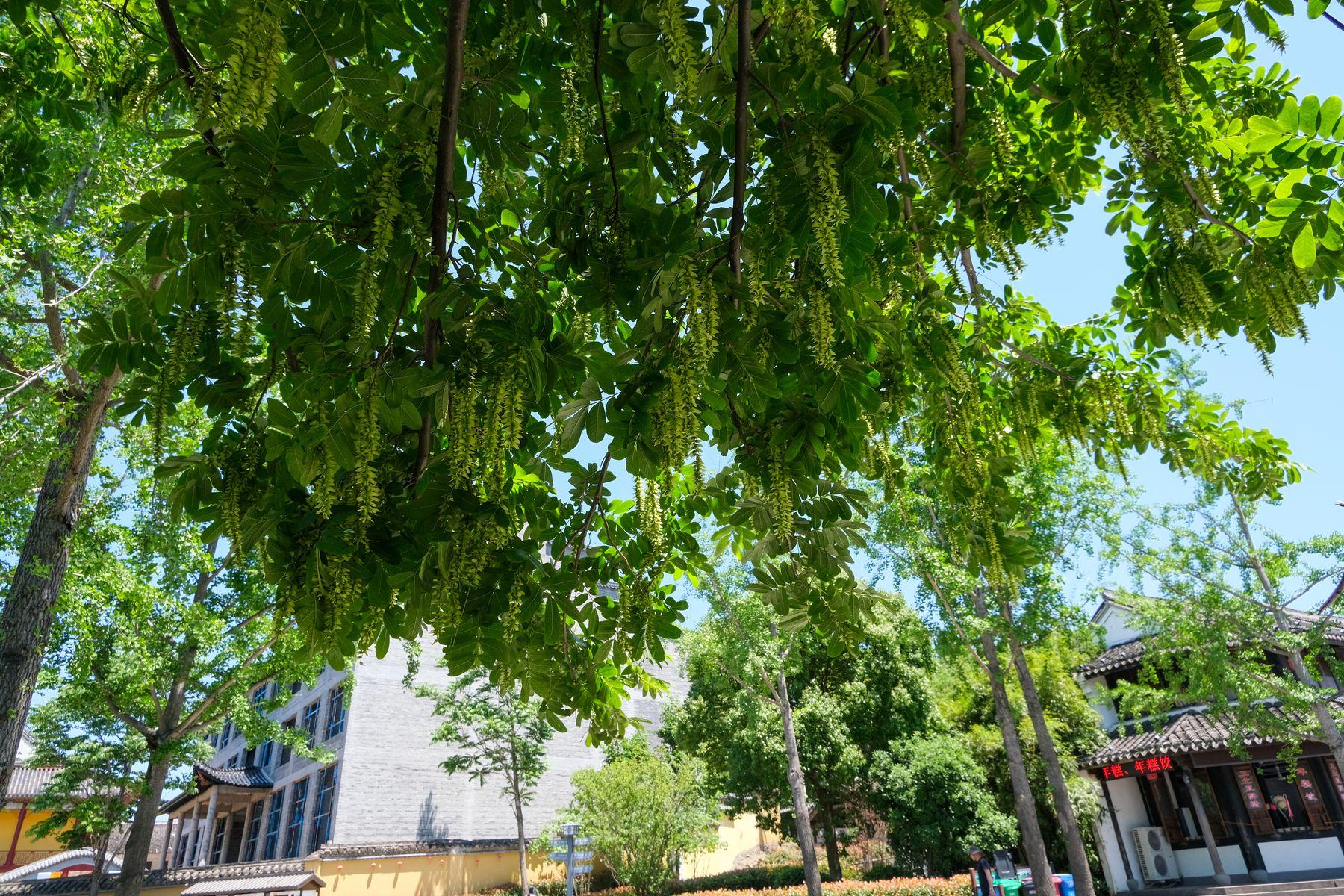 茂密枫杨树背景照片下载(免费无版权照片下载)