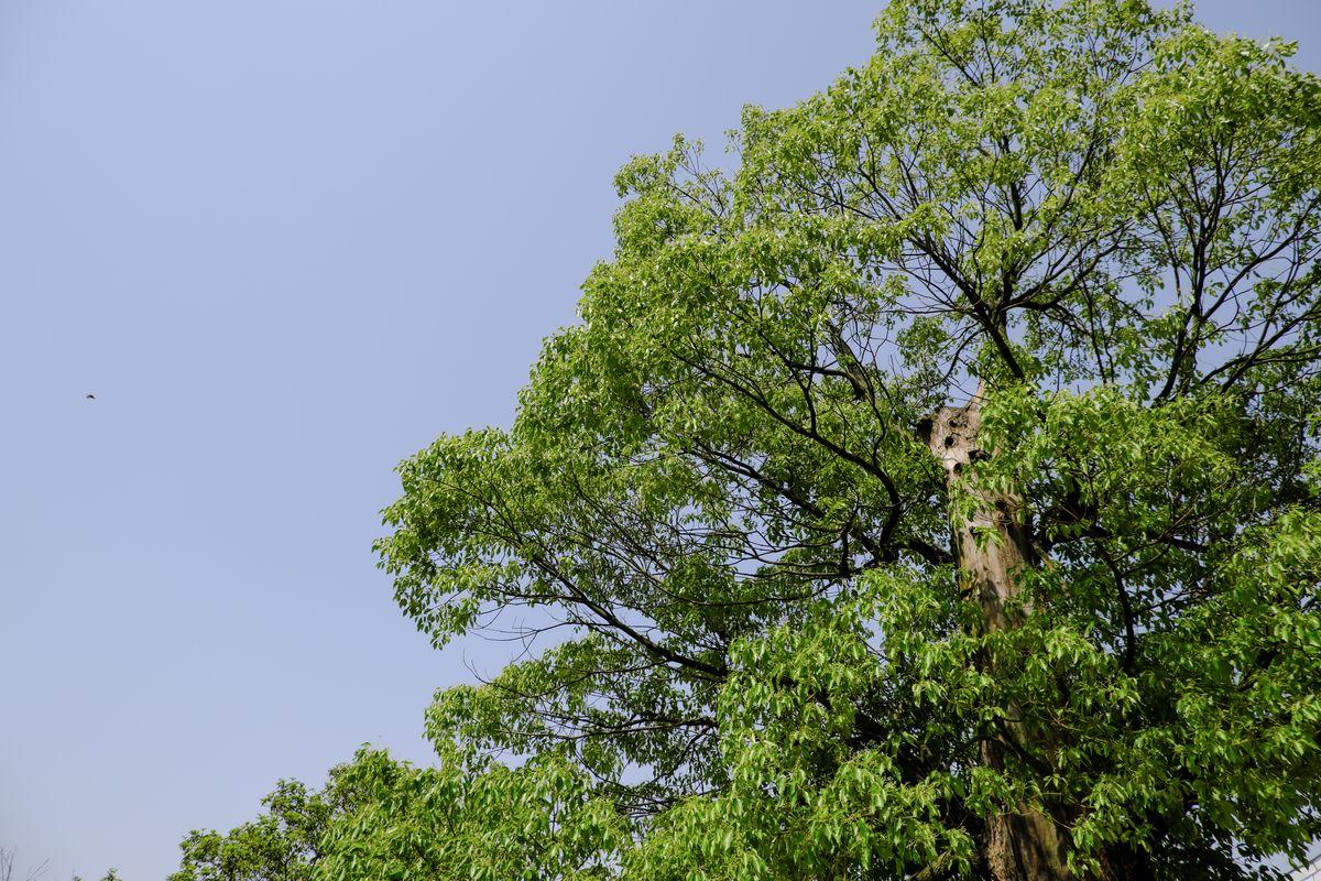 大树、蓝天高清图片 - 免费免费照片
