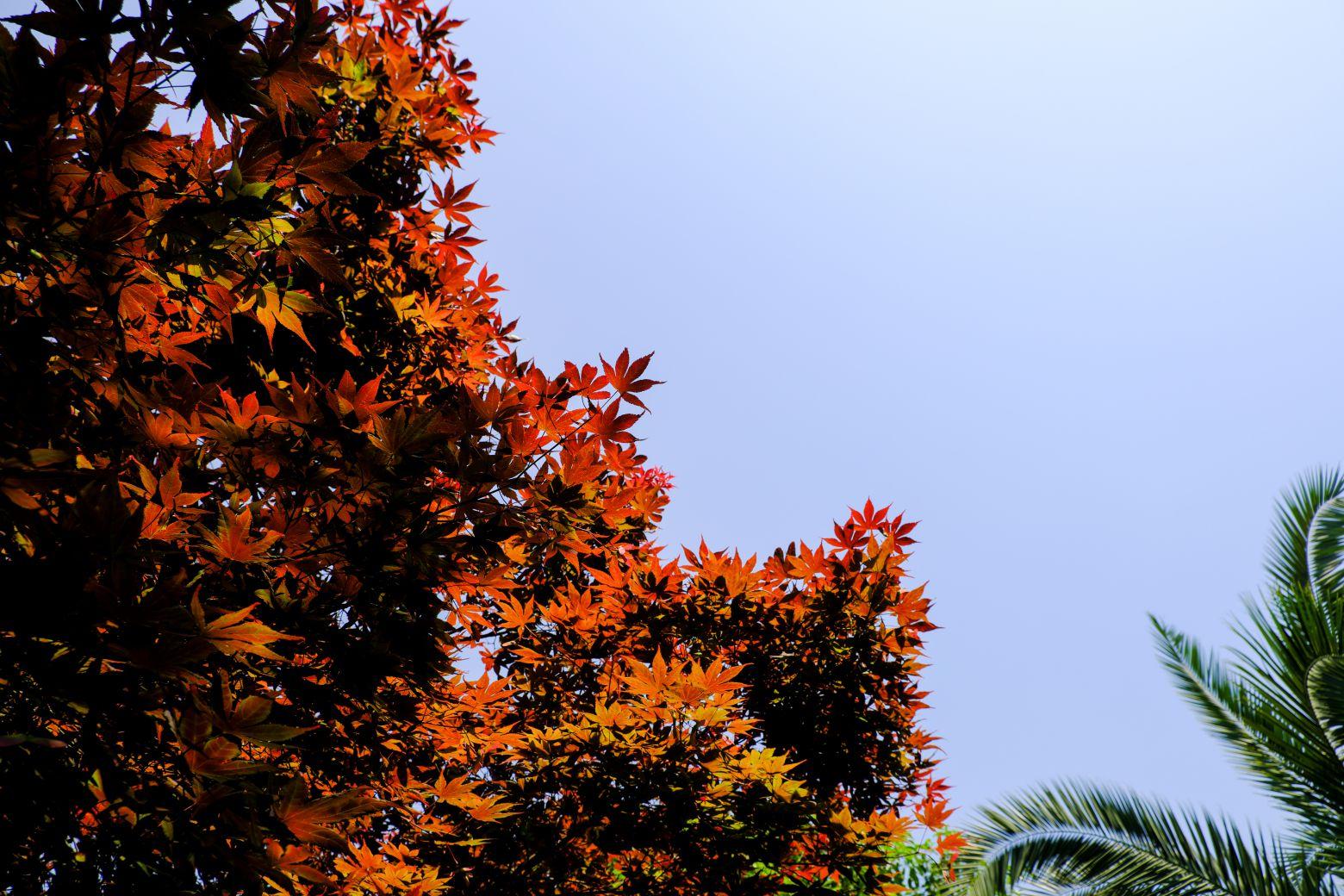 红色枫叶照片 - 免费商用图库