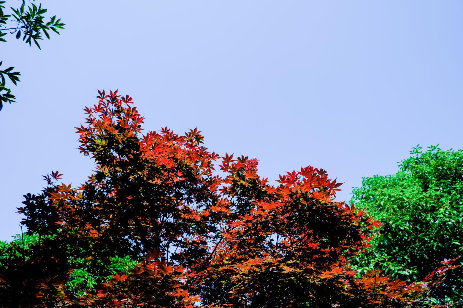 红枫叶天空图片背景 -  免费下载商用