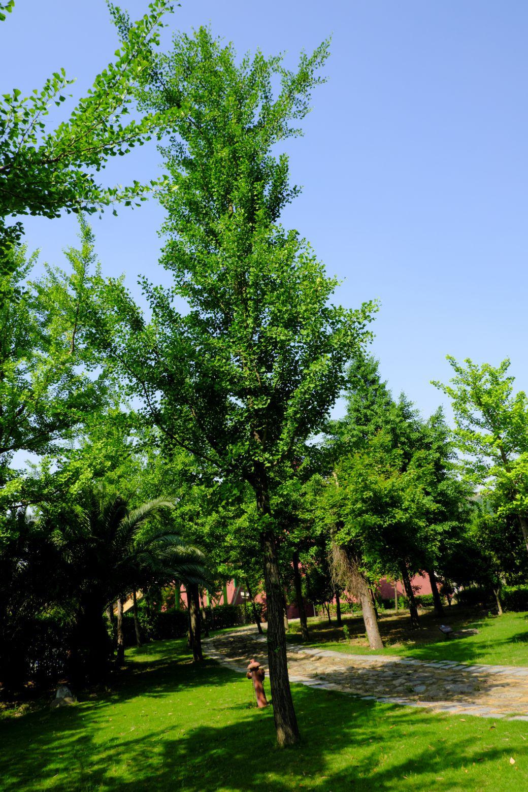 绿色银杏树图像 - 免费商用图片