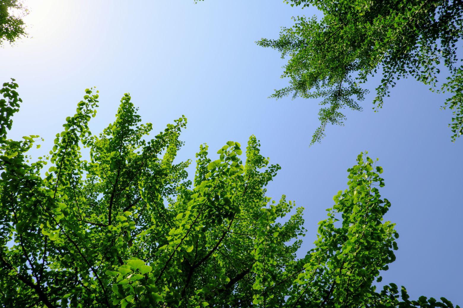 银杏树与天空背景 - 免费商用图片