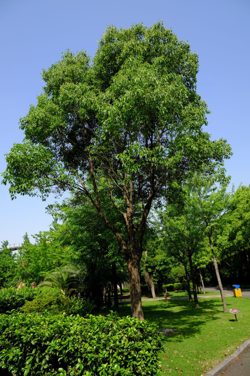 大樟树高清图片下载 - 免费商用