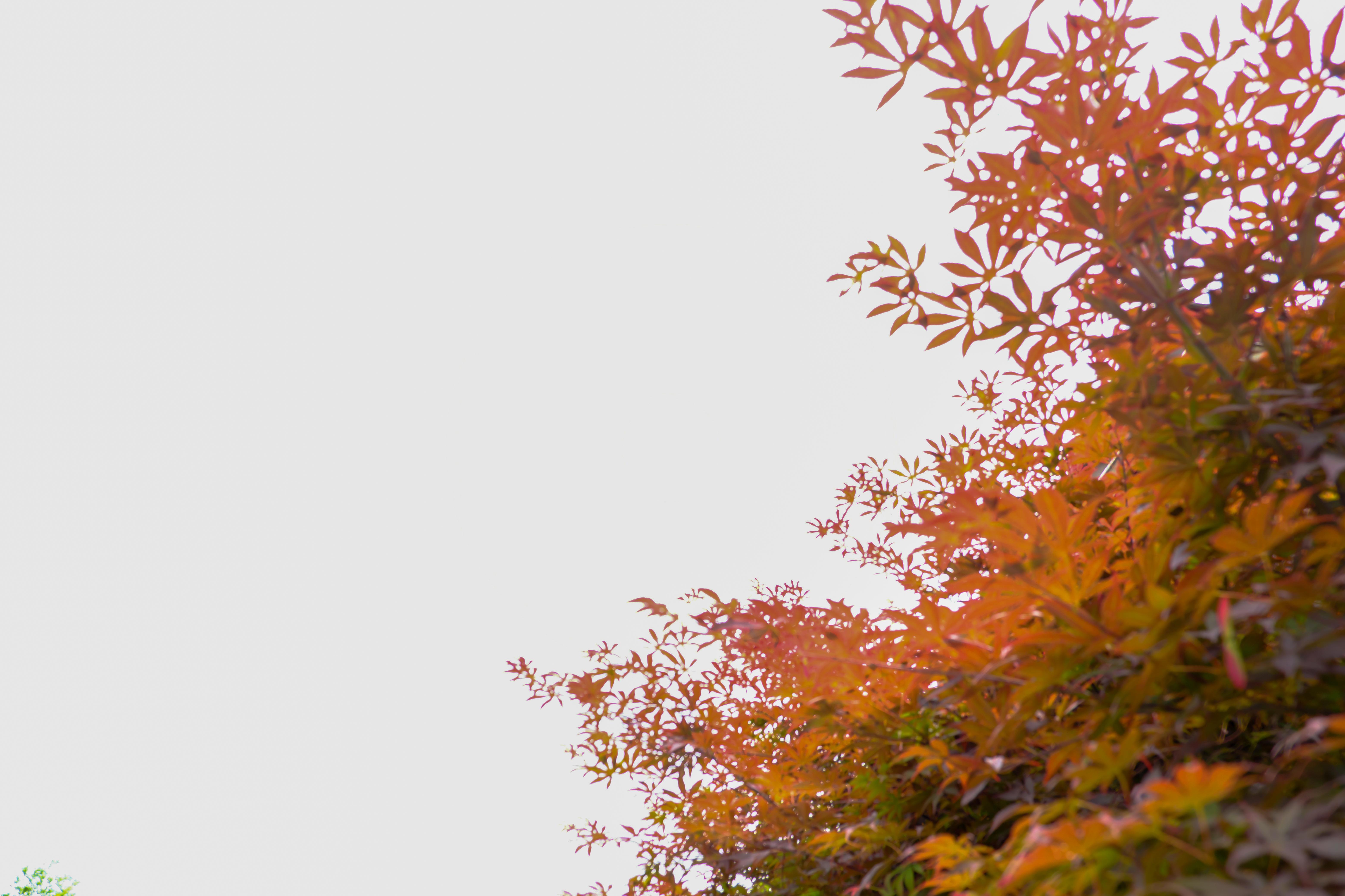 枫叶背景照片 - 免费商用图像