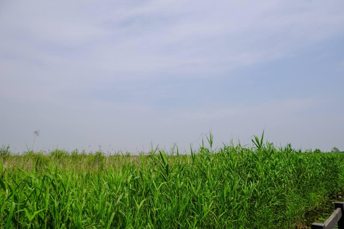 蓝天下的芦苇丛背景照片