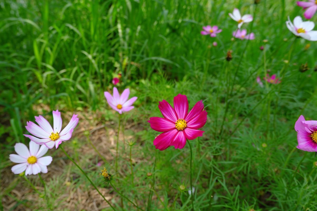 野花花丛、波斯菊背景照片