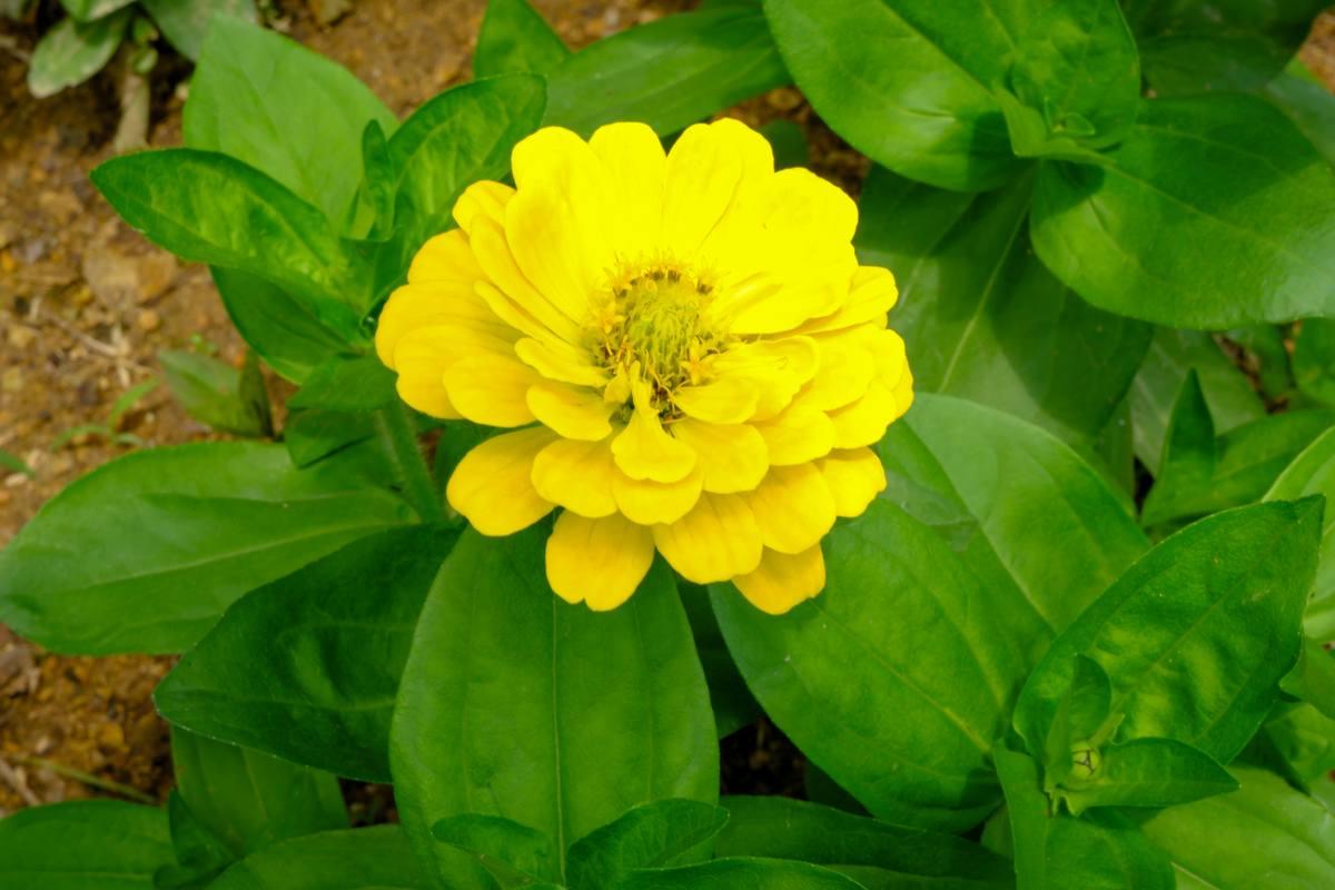黄色百日菊鲜花照片